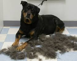 Cane Corso Hair Shedding by 5 Things You Should Know Before U Get A Rottweiler The Rottweilers