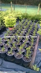 Nordmann Fir Christmas Tree by Limerick Christmas Tree Centre