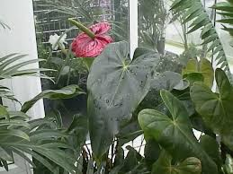 flamingo flowers how to grow and care for anthurium plants