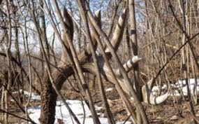 Deer Antler Shed Hunting by What Does A Shed Antler Mean Whitetail Habitat Solutions