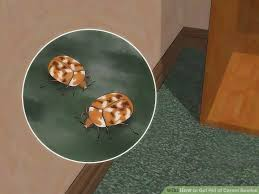 Do Carpet Beetle Bite by How To Get Rid Of Carpet Beetles 12 Steps With Pictures