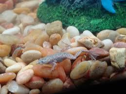 Do Aquatic Dwarf Frogs Shed Their Skin by African Dwarf Frog Fungus Flippers U0027n U0027 Fins