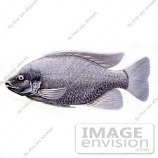 20947 Clipart Image Illustration Of A Tilapia Cichlid Fish By JVPD
