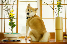 do shiba inus shed hair shiba inu breed information pictures characteristics facts