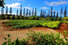 The World s st Pineapple Maze at Hawaii s Dole Plantation