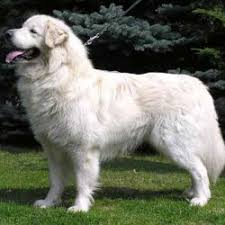 Large Sized Dogs That Dont Shed by Large White Breeds Of Dogs Breed Dogs Picture