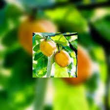 coing connaissez vous vraiment ce fruit bénéfique par