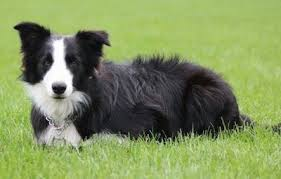 Do Blue Heeler Border Collies Shed by Border Collie Dog Breed Information And Pictures