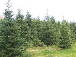 Christmas Tree Cataract Seen In by Support Local Christmas Tree Growers Columns Pressrepublican Com