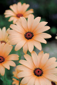 21 best daisies images on Pinterest