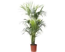 howea palme kentia floraself howea forsteriana h 150 160 cm ø 23 cm topf