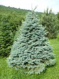 Canaan Fir Good Christmas Tree by Tree Varieties Kenburn Orchards
