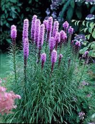 dense blazing floristan violett liatris spicata