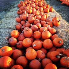 Half Moon Bay Pumpkin Patch 2017 by Best Pumpkin Picking Near Me 2017 U2013 Where To Pick Your Own