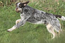 Springer Spaniel Shed Hunting by Wirehaired Pointer Griffon Dog Breed Information Pictures