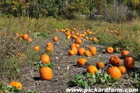 Pumpkin Patch Massachusetts by Pickard Farm Pumpkin Patch Fall Pumpkin Picking