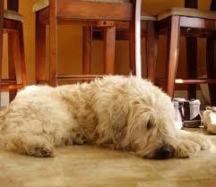 soft coated wheaten terrier dogs soft coated wheaten terrier dog