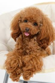 Protective Dog Breeds That Dont Shed top 10 dog breeds that don u0027t shed animal fair