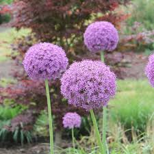best 25 summer flowering bulbs ideas on summer bulbs