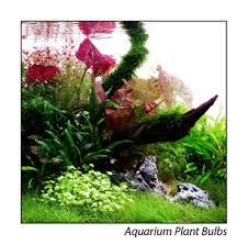 live aquarium plant bulbs lotus aponogetons buy 3 get 1