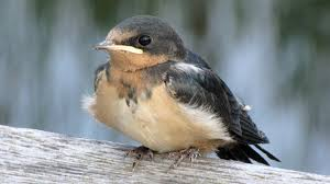 Fledgling Swallow Feeding Time - YouTube Union Bay Watch Surround Sound The Color Is So Beautiful Birds Pinterest Tree Swallow Easy Tips To Attract Swallows Swifts And Martins Feather Tailed Stories 2017 Barn Swallow Migration Annual Cycle Audubon Guide North American Fledgling Feeding Time Youtube Petting A Baby Hinterland Whos Who Eating Insects Barn Nextdoor Nature