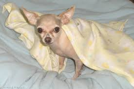 100 Where Is Chihuahua Located Dog For Adoption LUNA CHARLIEADOPTION PENDING A