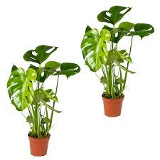 lochpflanze monstera deliciosa pro 2 stück zimmerpflanze im kinderzimmertopf cm17 cm 65 cm