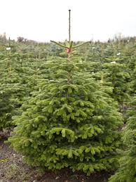 Fraser Fir Christmas Trees Uk by Home Jakins Christmas Trees