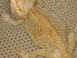 Bearded Dragon Shedding Process by We Have A Bearded Dragon About 5 Years Old He Has A Large