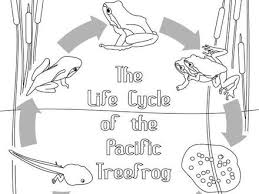 Frog Life Cycle Coloring Page Easy Free Tree