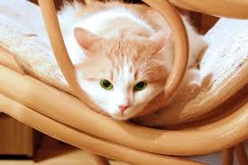 White And Orange Tabby Cat On Brown Wooden Rocking Chair HD ...