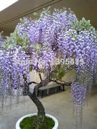 planting wisteria in a pot flower pots planters 10pcs bag wisteria flower seeds wisteria