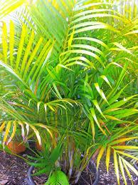 golden palm in pots golden palm landsdale plants