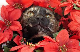 Are Christmas Trees Poisonous To Dogs by Are Poinsettias Poisonous Not Unless You Eat 500 Leaves