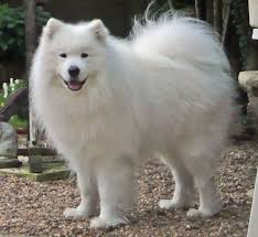 Do Samoyed Huskies Shed by 60 Adorable Pictures Of Samoyed Breed Dogs