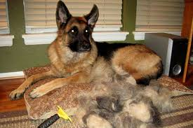 Sheltie Shedding In Clumps how to manage increased hair shedding when dogs blow their coats