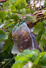 Five Tips For Growing Grapes In Phoenix | Handmade And Homegrown Small Plot Intensive Gardening Tomahawk Permaculture Backyard Vineyard Winery Grapes In Your Own Backyard Lifestyle Bucks County Courier More About The Regent Winegrape Growing Your Grimms Gardens Trellis With In The Yard At Home How To Grow Grapes Steemit Seedless Stark Bros Grape Orchards Pinterest Orchards Seattle Wa Youtube Grown Grape Vine And Trellis Stock Photo Royalty First Years Goal