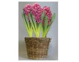 hyacinth flower bulb gift basket