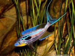 poisson eau douce aquarium tropical poisson eau douce aquarium tropical poisson naturel