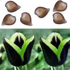 green edge black tulip bulb not seed beautiful home