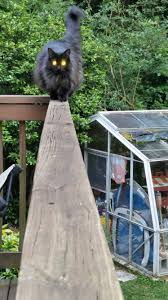 Do Maine Coons Shed Their Mane by This Is My Cat She U0027s Massive I Don U0027t Know Her Breed But I
