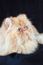 Do Maine Coons Shed In The Summer by Do Long Haired Cats Shed Less Pets