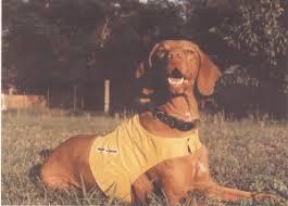 do vizsla dogs shed meet the vizsla everything at alpine publications