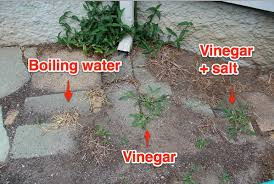 Area Two Shows The Same Results Boiling Water Killed Weeds But Vinegar Was A Bust Today Few Weeks Later Areas Treated With