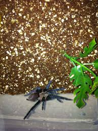 Do Tarantulas Molt Upside Down by Care Sheet Brachypelma Vagans Mexican Red Rump Poker Nights