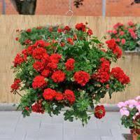 geranien richtig pflanzen pflegen überwintern pflanzen