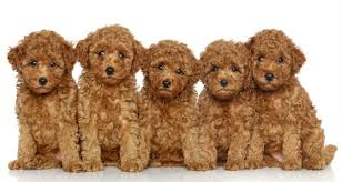 10 most popular dog breeds that don t shed we luv puppies page 3