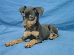 Do Miniature Doberman Pinschers Shed by Miniature Pinscher Mini Pinscher Puppy