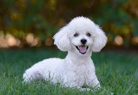 Dogs That Shed Very Little by Cutest Hypoallergenic Dogs