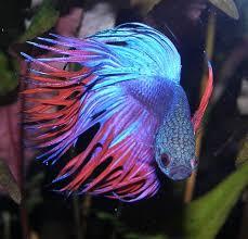 aquarium poisson prix bien débuter avec betta splendens
